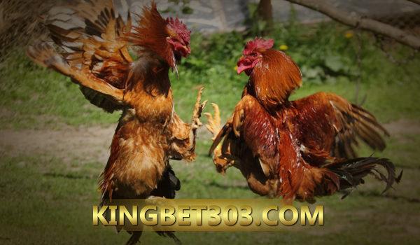 Sabung Ayam Pw S128