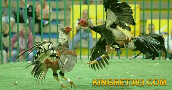 Adu Ayam S128 Live