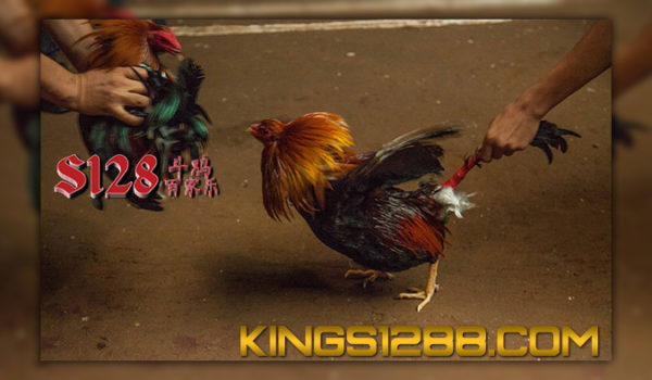 Sabung Ayam S128 Filipina