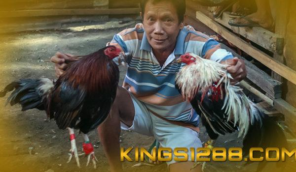 Sabung Ayam Pw